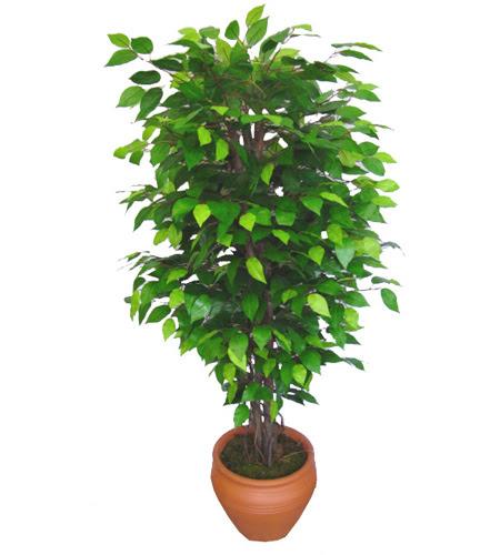 Ficus Benjamin 1,50 cm   Artvin anneler günü çiçek yolla