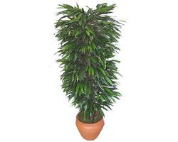 Artvin çiçek siparişi sitesi  Özel Mango 1,75 cm yüksekliginde