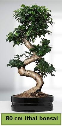 80 cm özel saksıda bonsai bitkisi  Artvin çiçekçi telefonları