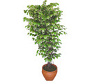 Ficus özel Starlight 1,75 cm   Artvin cicek , cicekci
