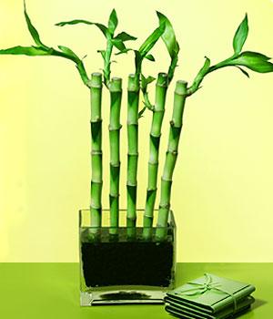 Artvin anneler günü çiçek yolla  Good Harmony Lucky Bamboo camda