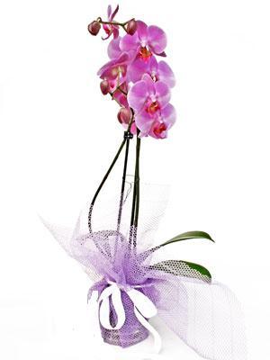 Artvin anneler günü çiçek yolla  Kaliteli ithal saksida orkide
