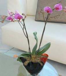Artvin çiçekçi mağazası  tek dal ikili orkide saksi çiçegi