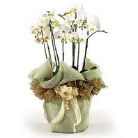 Artvin çiçek siparişi sitesi  3 dal orkide , saksi çiçegi , 3 kök orkide