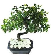9 yasinda Bonsai agaci  Artvin yurtiçi ve yurtdışı çiçek siparişi
