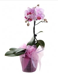 1 dal pembe orkide saksı çiçeği  Artvin kaliteli taze ve ucuz çiçekler