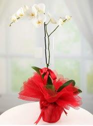 1 dal beyaz orkide saksı çiçeği  Artvin yurtiçi ve yurtdışı çiçek siparişi