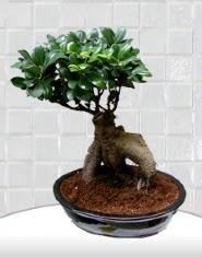 saksı çiçeği japon ağacı bonsai  Artvin kaliteli taze ve ucuz çiçekler