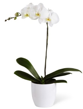 1 dallı beyaz orkide  Artvin 14 şubat sevgililer günü çiçek