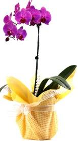 Artvin çiçek siparişi sitesi  Tek dal mor orkide saksı çiçeği