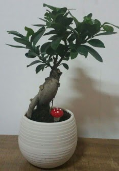Bonsai japon ağacı saksı çiçeği  Artvin çiçek gönderme sitemiz güvenlidir
