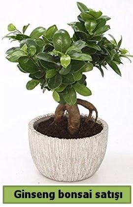 Ginseng bonsai japon ağacı satışı  Artvin çiçekçi telefonları