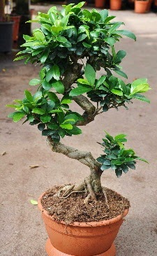 Orta boy bonsai saksı bitkisi  Artvin internetten çiçek siparişi