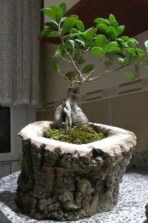 Ahşap kütük içerisinde ginseng bonsai  Artvin internetten çiçek siparişi