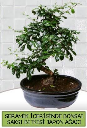 Seramik vazoda bonsai japon ağacı bitkisi  Artvin çiçek siparişi sitesi