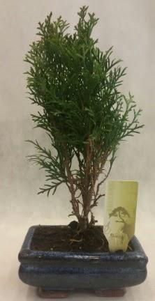 SINIRLI SAYIDA ÜRÜN Selvi Bonsai  Artvin İnternetten çiçek siparişi