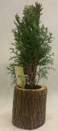 SINIRLI STOK Selvi Bonsai Doğal kütükte  Artvin İnternetten çiçek siparişi