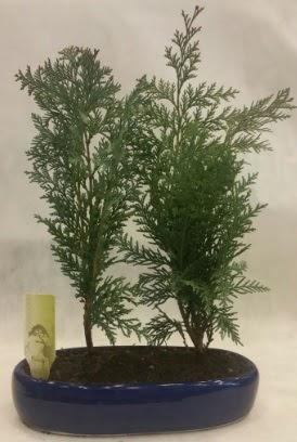 SINIRLI SAYIDA Selvi Ağacı bonsai ikili  Artvin çiçekçi telefonları