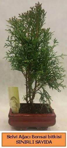 Selvi ağacı bonsai japon ağacı bitkisi  Artvin çiçek satışı