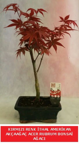 İTHAL ACER RUBRUM BONSAİ AĞACI  Artvin çiçek gönderme sitemiz güvenlidir