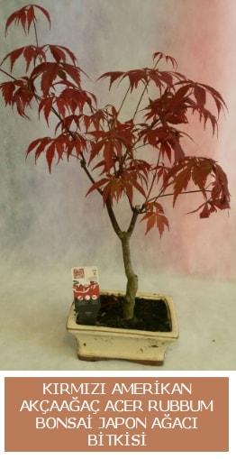 Amerikan akçaağaç Acer Rubrum bonsai  Artvin uluslararası çiçek gönderme