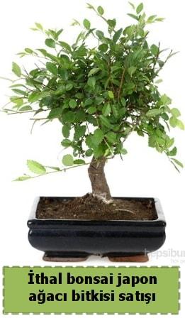 İthal bonsai saksı çiçeği Japon ağacı satışı  Artvin İnternetten çiçek siparişi