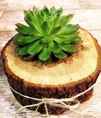 Doğal kütük içerisinde sukulent kaktüs  Artvin çiçek satışı