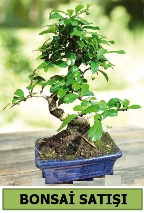 Çam bonsai japon ağacı satışı  Artvin çiçek satışı