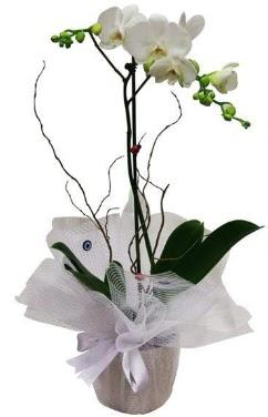 Tek dallı beyaz orkide  Artvin cicek , cicekci