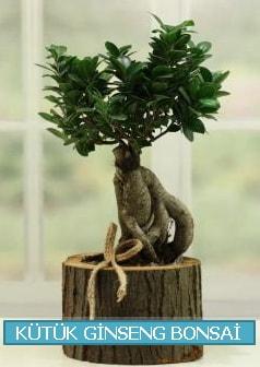 Kütük ağaç içerisinde ginseng bonsai  Artvin çiçek gönderme sitemiz güvenlidir