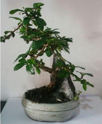 S şeklinde ithal bonsai ağacı  Artvin çiçek yolla