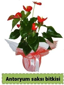 Antoryum saksı bitkisi satışı  Artvin çiçek , çiçekçi , çiçekçilik