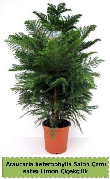 Salon Çamı Satışı Araucaria heterophylla  Artvin çiçek satışı