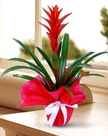 Guzmanya Saksı Çiçeği  Artvin çiçek yolla