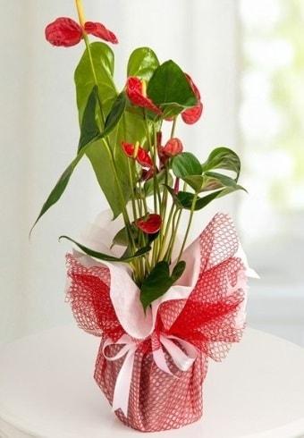 Anthurium Saksı Çiçeği  Artvin hediye çiçek yolla