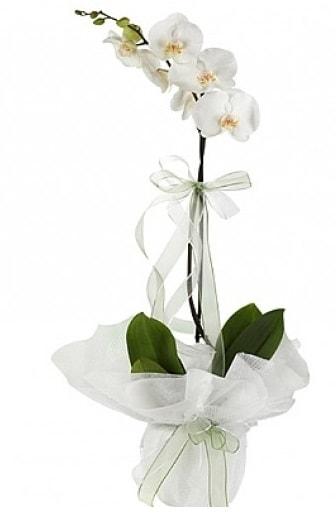 Tekli Beyaz Orkide  Artvin hediye çiçek yolla