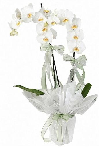 Çift Dallı Beyaz Orkide  Artvin anneler günü çiçek yolla