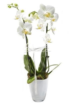 2 dallı beyaz seramik beyaz orkide saksısı  Artvin çiçek gönderme sitemiz güvenlidir