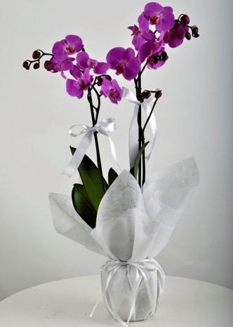Çift dallı saksıda mor orkide çiçeği  Artvin çiçek siparişi vermek