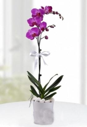 Tek dallı saksıda mor orkide çiçeği  Artvin çiçekçiler