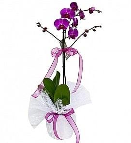 Tek dallı saksıda ithal mor orkide çiçeği  Artvin çiçekçiler