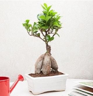 Exotic Ficus Bonsai ginseng  Artvin çiçek servisi , çiçekçi adresleri