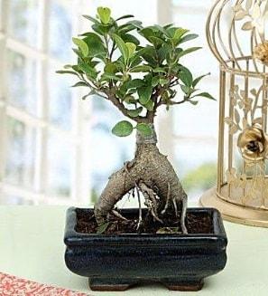 Appealing Ficus Ginseng Bonsai  Artvin anneler günü çiçek yolla