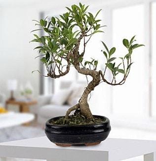 Gorgeous Ficus S shaped japon bonsai  Artvin yurtiçi ve yurtdışı çiçek siparişi