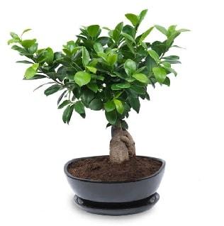Ginseng bonsai ağacı özel ithal ürün  Artvin internetten çiçek satışı