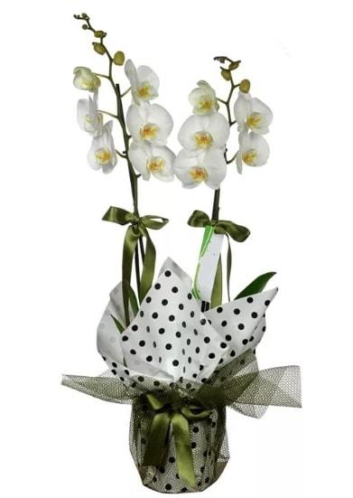 Çift Dallı Beyaz Orkide  Artvin 14 şubat sevgililer günü çiçek