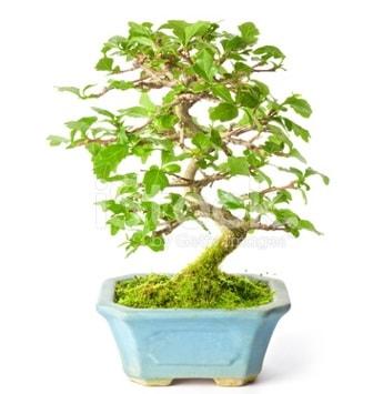 S zerkova bonsai kısa süreliğine  Artvin İnternetten çiçek siparişi