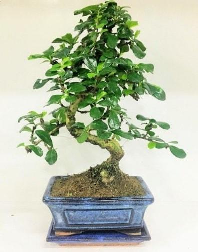 S Bonsai japon ağacı bitkisi  Artvin uluslararası çiçek gönderme