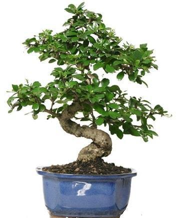 21 ile 25 cm arası özel S bonsai japon ağacı  Artvin çiçekçi telefonları
