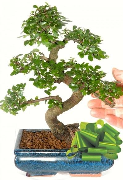 Yaklaşık 25 cm boyutlarında S bonsai  Artvin çiçek siparişi sitesi
